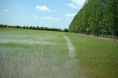 risocastelletto-crescita-del-riso