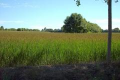 risocastelletto-riso-maturazione
